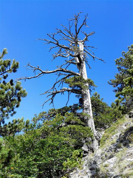 γηραιότερο δένδρο